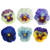 Sugared Edible Pansies, Set of 10