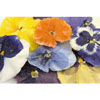 Sweet Crystal Sugared Edible Pansies, Set of 6